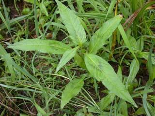 Pennsylvania_smartweed_seedling